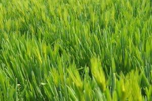 grass 657264 640 300x199